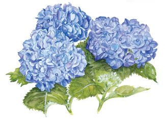 Watercolor painting of blue hydrangeas