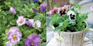 a picture of a teacup and pansies