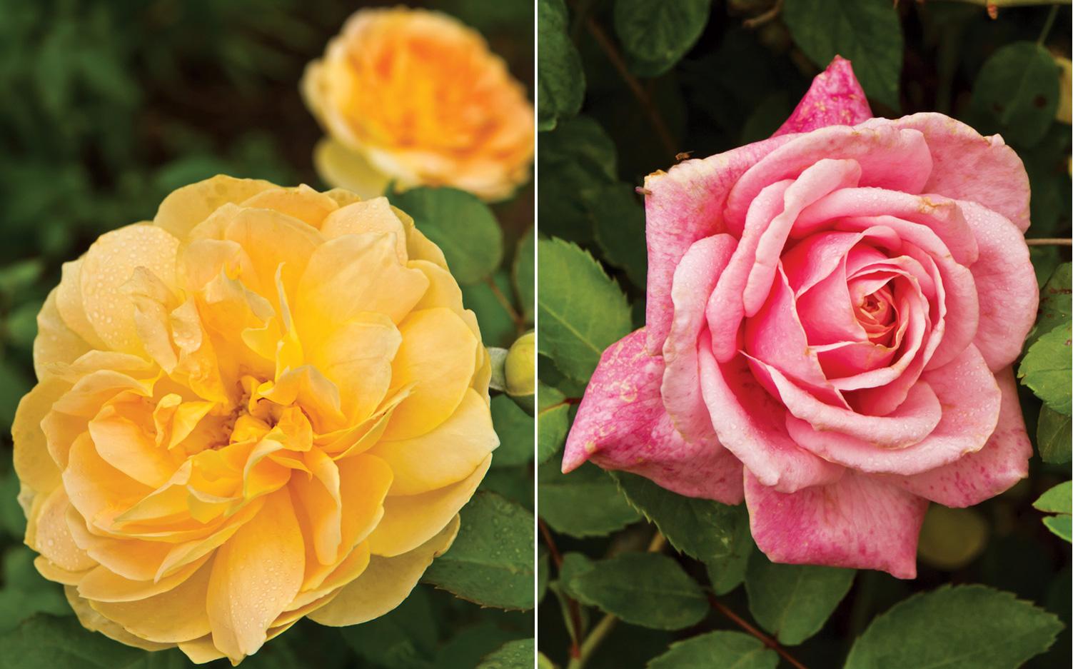 A picture of the Antique Rose Emporium